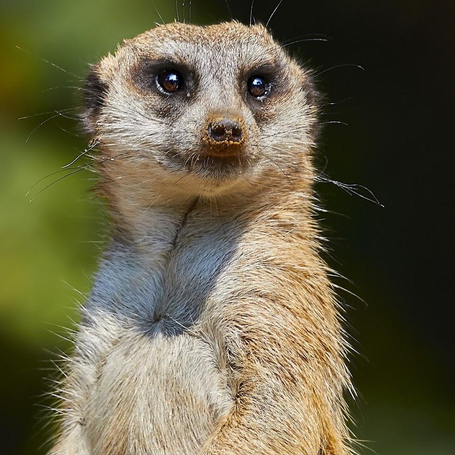 Meerkat 9993~ by Raphael RaCcoon - Animals Other Mammals