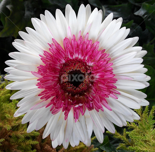 Gerbera flower pink on white single flower flowers pixoto gerbera flower pink on white by nandu pangi flowers single flower facebook mightylinksfo