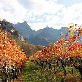 Fläsh, Graubünden, Switzerland by Serguei Ouklonski - Nature Up Close Gardens & Produce ( countryside, plant, vineyard, mountain, bright, change, no person, viticulture, leaf, travel, valley, landscape, multi colored, nature landscape, sky, cloud - sky, nature, autumn, no people, switzerland, gold, travel destinations, wine, clouds, flora, scenics, agriculture, beauty in nature, scenic, graubunden, rural, country, fair weather, season, mountain range, color, outdoor, outdoors, fall, cloud, day, daylight, growth )