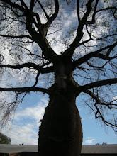 Photo: ボラーチョの木がいっぱい