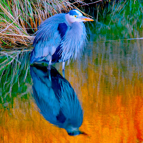 HDR by D. Bruce Gammie - Animals Birds ( bird, reflection, hdr, blue, fall, heron, dusk, north delta )