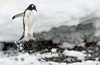 Photo: You see penguins like to walk in single file along a single path. There was a whole train of penguins dropping 1 by 1 off this ledge in order to get to the water to wash their dirty selves off and hunt for krill. The funny thing is every penguin in this train was filthy, having spent a shift incubating an egg or watching over their young in the nest while their significant other is out fishing. If I was to zoom out you would see a second stream of clean fat penguins toddling their way back up to the colony to feed their chicks and switch off with their partner. This is their life, they are living breathing animals and just like us they have relationships and work for a living, it's just that they get paid in krill.