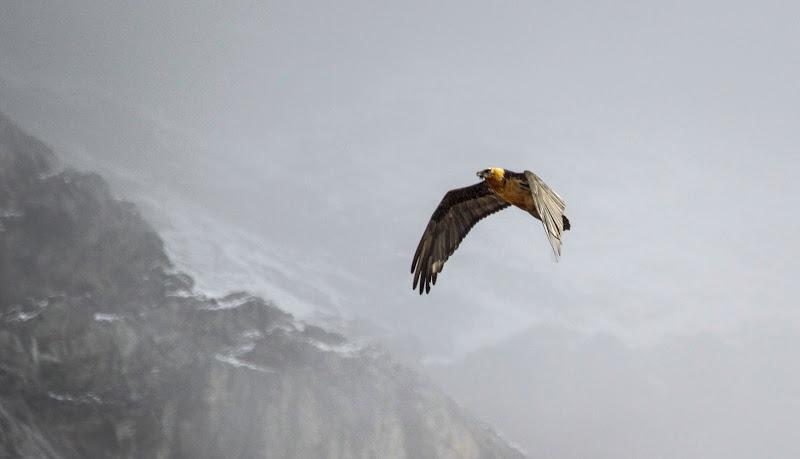 Il volo libero del gipeto di ringhio