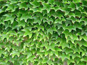 Photo: Hera de Inverno ou Falsa Vinha ( Parthenocissus tricuspidata )