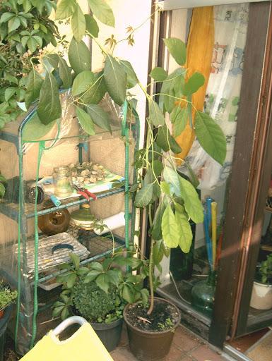 wer kennt sich mit selbstgezogenem avocadobaum aus und schneiden haus garten forum. Black Bedroom Furniture Sets. Home Design Ideas