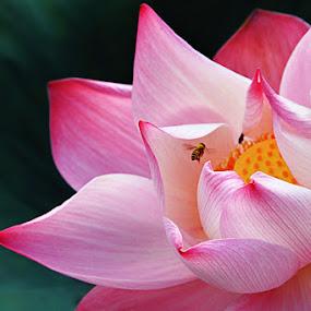 200809170811 by Steven De Siow - Nature Up Close Flowers - 2011-2013 ( lotus, flower,  )