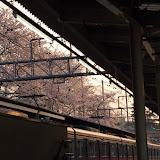 調布お花見マップ;京王線柴崎駅の桜写真