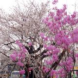 調布お花見マップ;京王線仙川駅の桜写真
