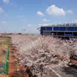 調布お花見マップ;飛田給味の素スタジアム横の桜写真
