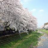 調布お花見マップ;野川の昼間の桜写真