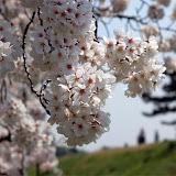 調布お花見マップ;多摩川住宅周辺の桜写真