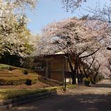 調布お花見マップ;調布市立調布中学校正門の桜写真