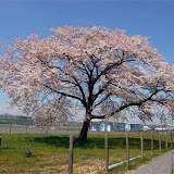 調布お花見マップ;調布飛行場付近の桜写真