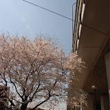 調布お花見マップ;高速第五児童遊園の桜写真