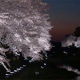 調布お花見マップ;野川の夜桜ライトアップの写真