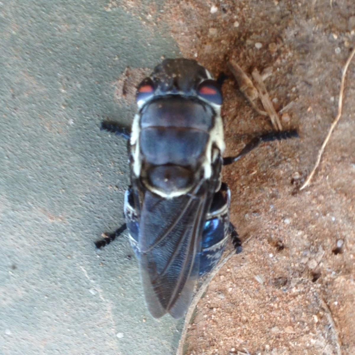 Rabbit Botfly