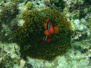 Photo: Amphiprion frenatus (Tomato Clownfish), Entacmaea quadricolor (Green Tip Bubble Anemone), Siquijor Island, Philippines