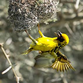 Weaver by Roger Fanner - Animals Birds