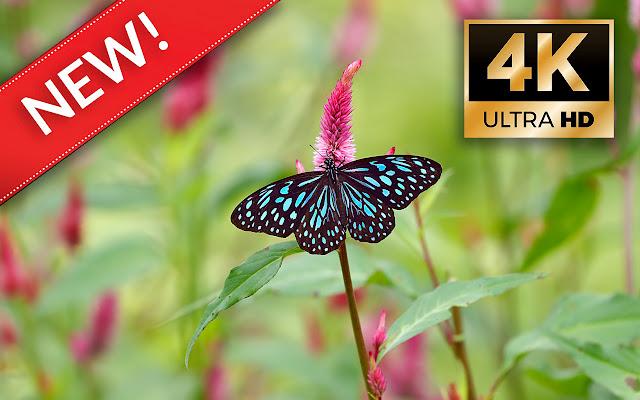 Butterflies HD Wallpapers - Custom New Tab
