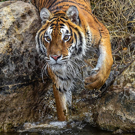 by Terry DeMay - Animals Lions, Tigers & Big Cats