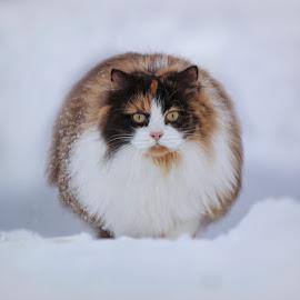 Fluffy girl by Jane Bjerkli - Animals - Cats Portraits (  )