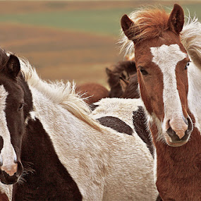 Brothers by Kristján Karlsson - Animals Horses
