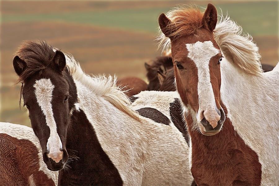 Brothers by Kristján Karlsson - Animals Horses