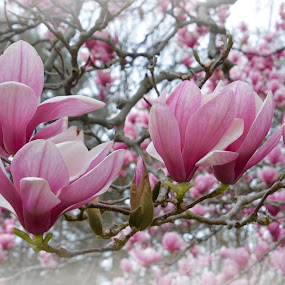 MAGNOLIAS by Bethany Kenney - Flowers Tree Blossoms (  )