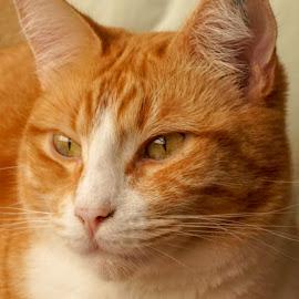 Iggy by Anabela Besic - Animals - Cats Portraits (  )