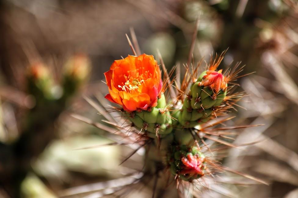 w drodze do Kanionu Colca, kaktus