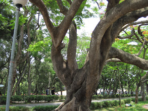 Photo: Tunghai campus has a lot of fabulous trees, like this beauty queen