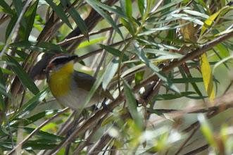 Photo: ! Rufous-capped Warbler (Rotkappen-Waldsänger); Cosoltepec, PUE