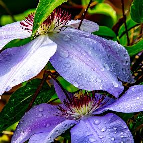Raindrops on Clematis by Ed Stines - Flowers Flower Gardens ( usa, nature, flower garden, petals, flower, purple flower, clematis, wilson, nc, plant, garden flowers, stamen, vine, bees,  )