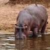 Hipopótamo (Hippo)