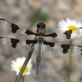 Close up of dragon fly by Carol Keskitalo - Novices Only Macro