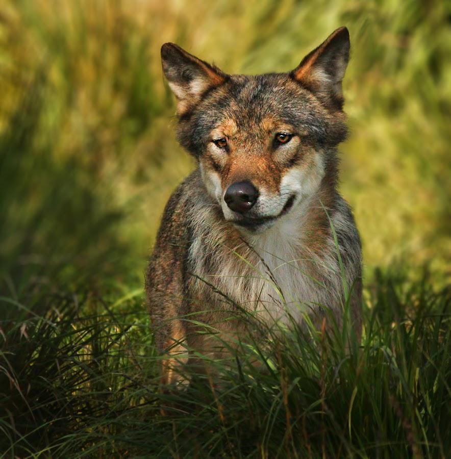 Wolf by Jane Bjerkli - Animals Other Mammals
