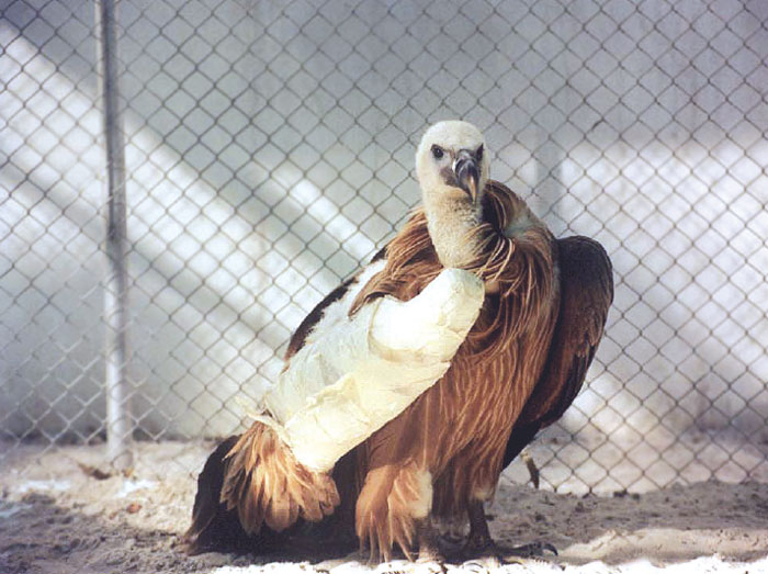 Large raptors can be kept in small, secluded aviaries during hospitalization