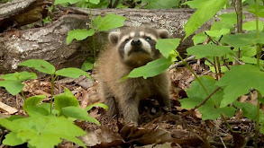 Raccoon Rescue thumbnail