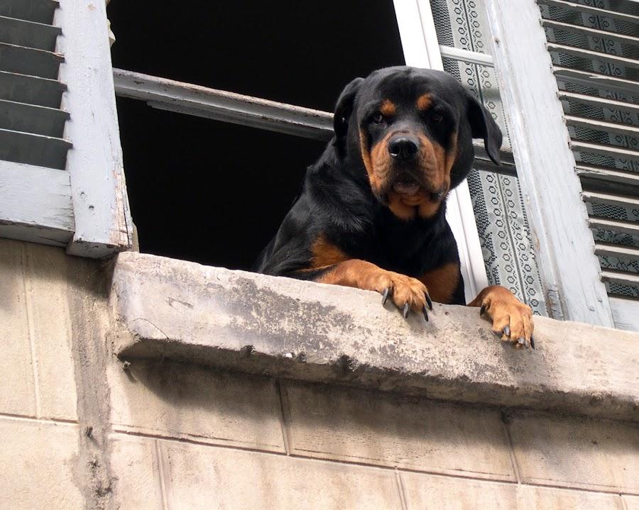 not ring the doorbell by Franky Vanlerberghe - Animals - Dogs Portraits ( window, hond kijkt door het ram, dog, dog at the window,  )