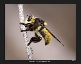 Photo: Robberfly...pretty furry looking. http:www.hatch1921.com