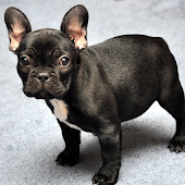 French Bulldogs Wallpapers
