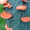 Orange fan like mushroom