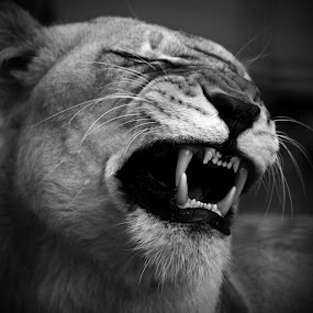 Lioness by Deb Thomas - Animals Lions, Tigers & Big Cats ( lion, yawning,  )