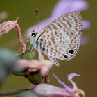 Cassius Blue butterfly