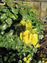Photo: English Ivy - Hedera helix 'Buttercup Adult' - Flagler Pavillion area