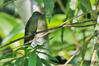 Photo: Sombre Hummingbird