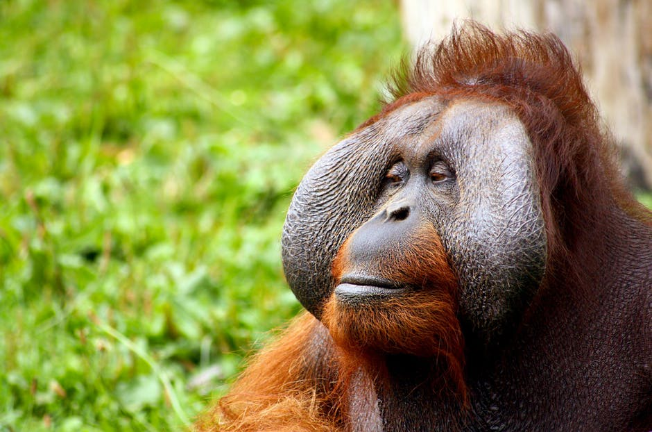 monkey-orangutan-animal-face-52530.jpeg
