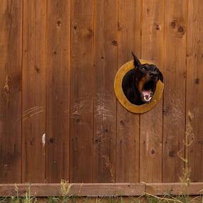 Strong Guard by Владимир Агруц - Animals - Dogs Portraits ( fence, barking, dog )