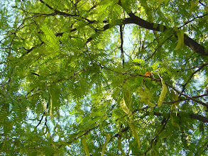 Photo: Hojas y frutos de acacia de tres espinas (Gleditsia triacanthos)