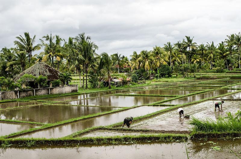 La dura vita del contadino indonesiano di Alessandro_Canepa